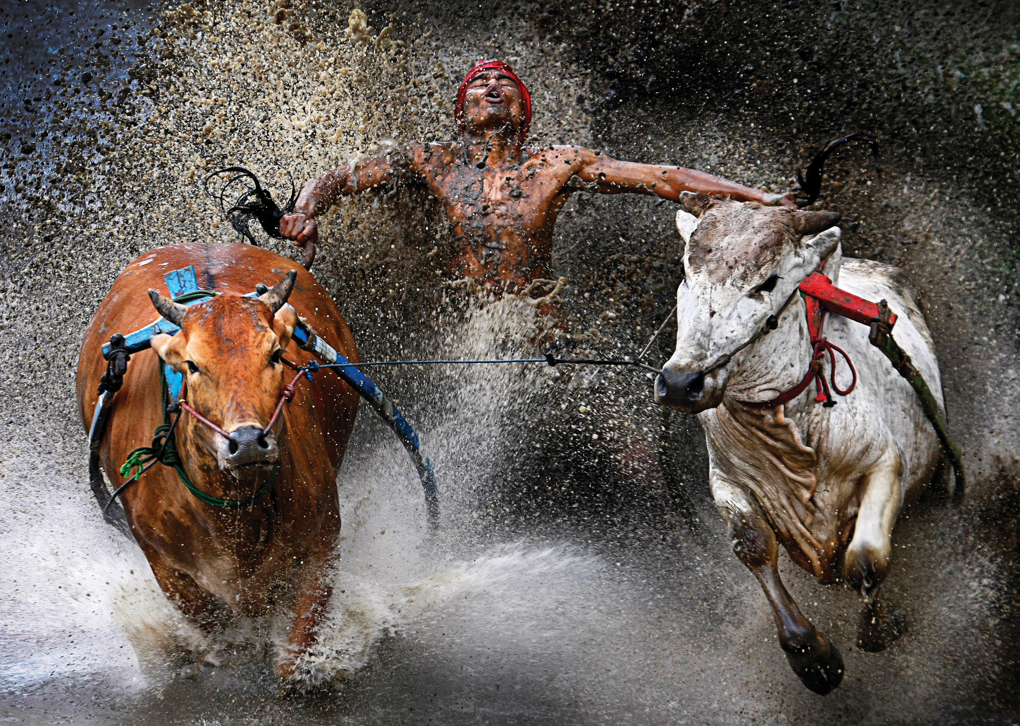 A competitor and his charges reach the finish of a bull race, in Batu Sangkar, West Sumatra.